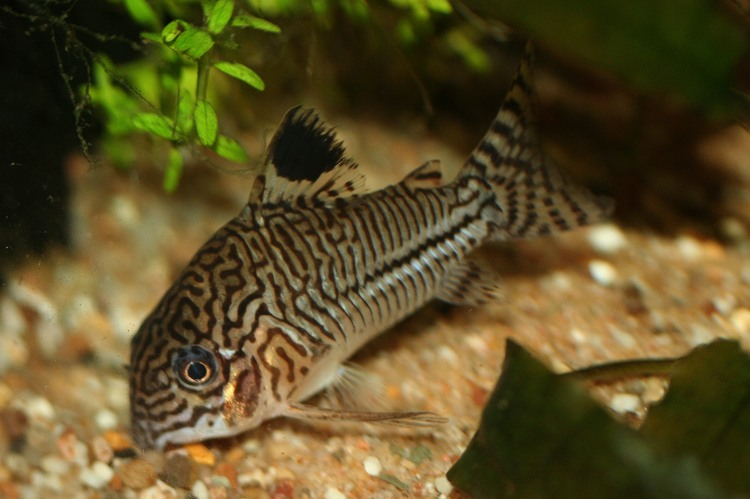Corydoras Julii Related Keywords & Suggestions - Corydoras Julii Long ...